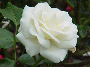 Rosa_sp.300